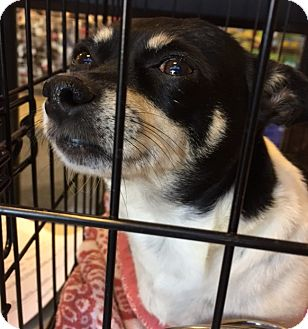 Chihuahua/Rat Terrier Mix Dog for adoption in Powder Springs, Georgia - Remi