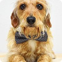 Adopt A Pet :: Petey - Dublin, CA