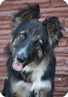German Shepherd Dog/Border Collie Mix Dog for adoption in Los Angeles, California - Destiny von Detmold