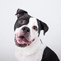 Adopt A Pet :: Neville - Decatur, GA