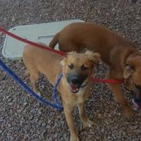 Golden Retriever/Shepherd (Unknown Type) Mix Dog for adoption in Las Cruces, New Mexico - Taylor