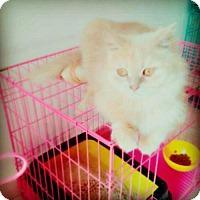 Adopt A Pet :: Sandy Purrsian - Norwalk, CT