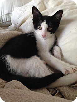 Domestic Shorthair Cat for adoption in Los Angeles, California - Nosferatu