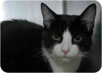 Domestic Shorthair Cat for adoption in Long Beach, New York - Momo and Dolce