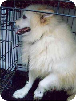 American Eskimo Dog Dog for adoption in Shoreline, Washington - Bo Duke