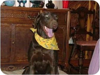 Labrador Retriever/Retriever (Unknown Type) Mix Dog for adoption in Glastonbury, Connecticut - Toby-adoption pending