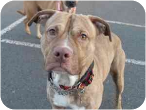 American Pit Bull Terrier Mix Dog for adoption in Raritan, New Jersey - Zacky