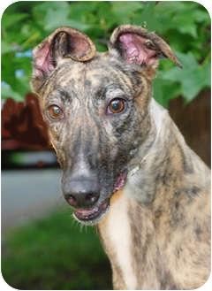 Greyhound Dog for adoption in Ware, Massachusetts - Rikki