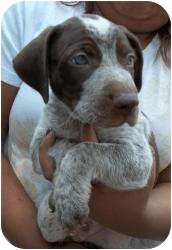 German Shorthaired Pointer Mix Puppy for adoption in Gaffney, South Carolina - Norway