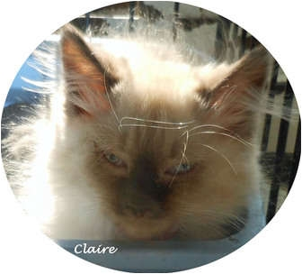 Ragdoll Kitten for adoption in Mandeville Canyon, California - Claire