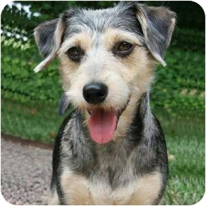 Schnauzer (Miniature)/Dachshund Mix Dog for adoption in Redondo Beach, California - Brodie - Courtesy