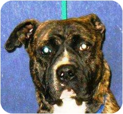 Boxer Mix Dog for adoption in Turnersville, New Jersey - Patrick
