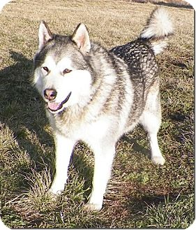 Alaskan Malamute Mix Dog for adoption in Sullivan, Missouri - Tyson