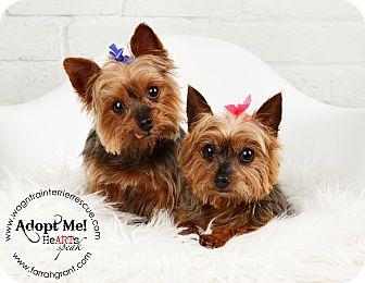 Yorkie, Yorkshire Terrier Dog for adoption in Omaha, Nebraska - Max