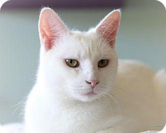 Domestic Shorthair Cat for adoption in Brimfield, Massachusetts - Lil Bitsy (aka Snow White)