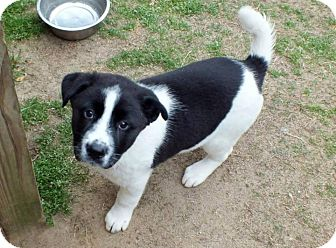 Border Collie Mix Puppy for adoption in Kimberton, Pennsylvania - Patrick