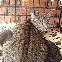 Adopt A Pet :: Cubby - Brooklyn, NY