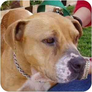 American Pit Bull Terrier Mix Dog for adoption in Berkeley, California - Lorna
