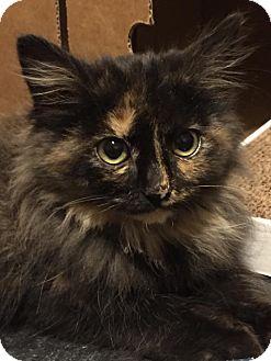 Domestic Mediumhair Kitten for adoption in Wichita Falls, Texas - Miss Avery