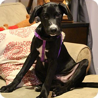 Labrador Retriever Mix Puppy for adoption in West Simsbury, Connecticut - Marvelous Maverick