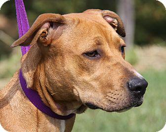 Boxer/Labrador Retriever Mix Dog for adoption in Marietta, Ohio - Annie Oakley (Spayed)