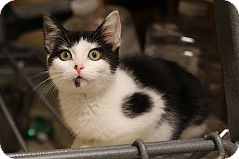 Domestic Shorthair Kitten for adoption in Gainesville, Virginia - Solo