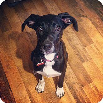 Labrador Retriever/English Pointer Mix Dog for adoption in Grand Rapids, Michigan - Moonlight