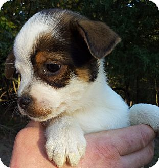 Rat Terrier/Pomeranian Mix Puppy for adoption in Kittery, Maine - Little T