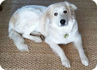 Great Pyrenees/Golden Retriever Mix Dog for adoption in Newtown, Connecticut - Bella