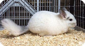 Chinchilla for adoption in Hammond, Indiana - 4.5 mo white mosaic chinchilla