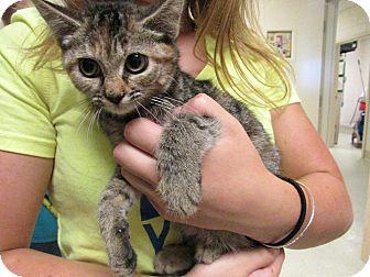 Domestic Shorthair Kitten for adoption in Windsor, Virginia - Raz