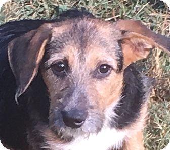 Terrier (Unknown Type, Medium)/Wirehaired Fox Terrier Mix Puppy for adoption in Hagerstown, Maryland - Rosetta