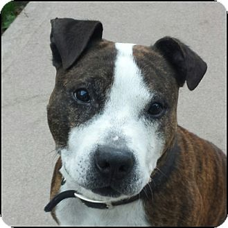 Pit Bull Terrier/Boxer Mix Dog for adoption in Oakland Gardens, New York - Scooby