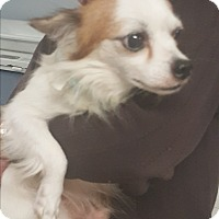 Papillon/Chihuahua Mix Dog for adoption in Palm Bay, Florida - Luke pap