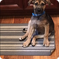 Adopt A Pet :: Shep pup - Pompton Lakes, NJ
