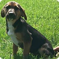 Labrador Retriever/German Shepherd Dog Mix Puppy for adoption in Sherburne, New York - Robin (NY-Renee)