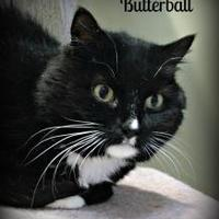 Adopt A Pet :: Butterball - Crossfield, AB