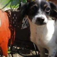 Adopt A Pet :: Priscilla - justin, TX