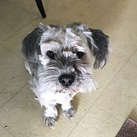 Adopt A Pet :: Gizmo - Denver, CO