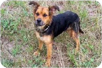 Shepherd (Unknown Type) Mix Dog for adoption in Sullivan, Missouri - Penny