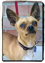 Chihuahua Mix Dog for adoption in Los Angeles, California - Brick