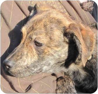 Whippet/Doberman Pinscher Mix Puppy for adoption in Poway, California - Drew