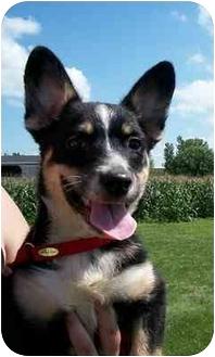 Blue Heeler/Shepherd (Unknown Type) Mix Puppy for adoption in Shenandoah, Iowa - Mia