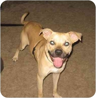 Labrador Retriever/Pit Bull Terrier Mix Dog for adoption in Woodbury, New Jersey - Noah