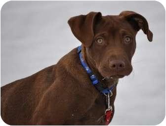Labrador Retriever Mix Puppy for adoption in Portola, California - Bogart