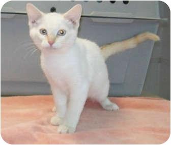 Siamese Kitten for adoption in Murphysboro, Illinois - Creamsicle