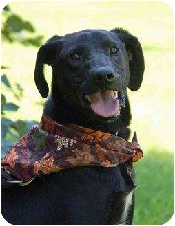 Labrador Retriever Dog for adoption in Mora, Minnesota - Malcolm
