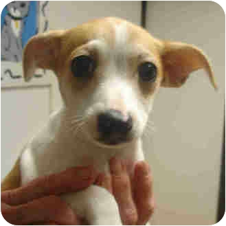 Jack Russell Terrier Mix Puppy for adoption in Manassas, Virginia - Scooter