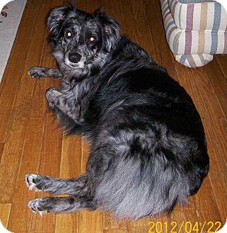 Australian Shepherd Dog for adoption in Washington, Illinois - Pepper