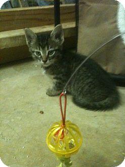 Domestic Shorthair Cat for adoption in White Settlement, Texas - Beckham
